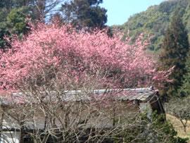 2/27は天気がよく暖かでした。梅が咲き始めました。